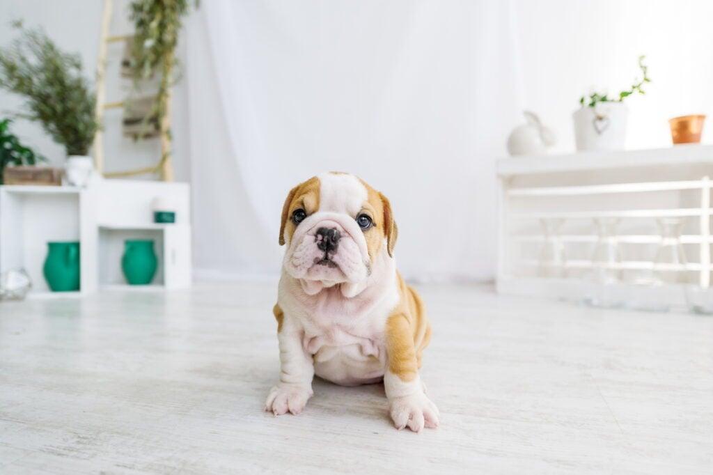 dog sitting on hardwood flooring